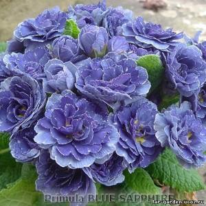 Примулы ~ Primula