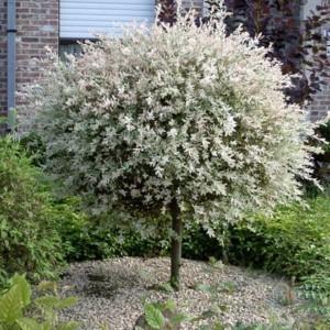 Ивы ~ Salix