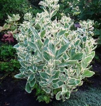 Очиток (Седум) белорозовый Фрости Морн ~ Sedum erythrostictum Frosty Morn