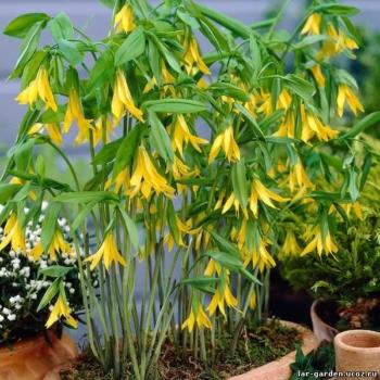 Увулярия крупноцветная ~ Uvularia grandiflora