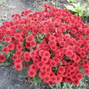 Хризантемы~ Chrysanthemum