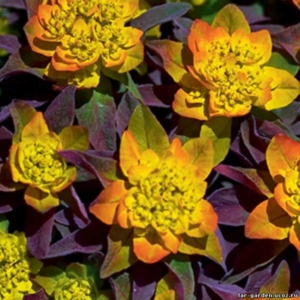 Молочай ~ Euphorbia