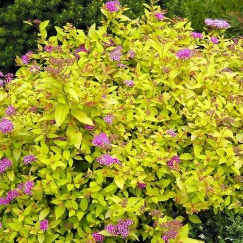 Spiraea japonica Golden Carpet