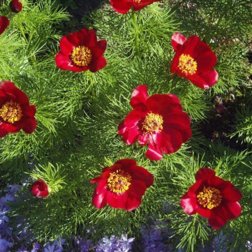 tenuifolia  узколистный(тонколистный)