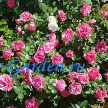 Роза Леонардо Да Винчи ~ Rose Leonardo da Vinci1