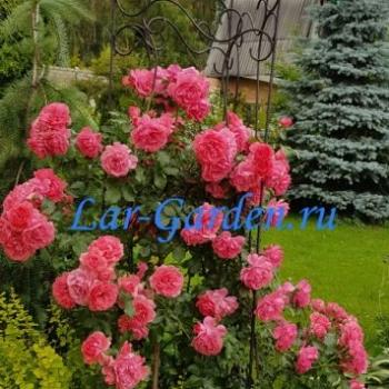 Роза Розариум Ютерсен ~ Rose Rosarium Uetersen22