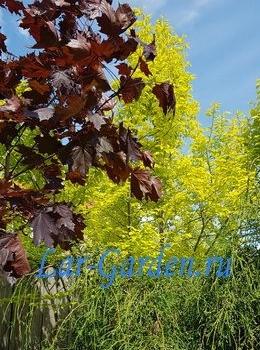Клен остролистный Фассенз Блэк ~ Acer platanoides Faassens Black 1