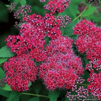 Спирея японская Дабл Плей Ред ~ Spiraea japonica Double Play Red33