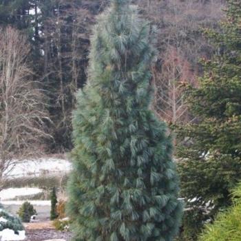 Сосна Веймутова Фастигиата~Pinus strobus Fastigiata11