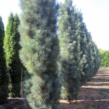 Сосна веймутовая Стоу Пиллар ~ Pinus strobus Stowe Pillar